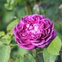 hvad er vildskud på roser